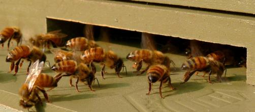 Honeybees-27527-1. [Image source/Ken Thomas, Wikimedia commons]