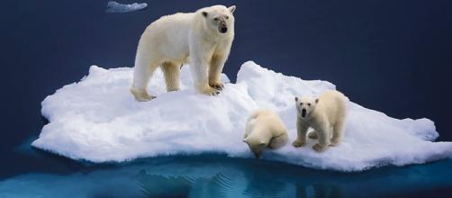 Fotografía de osos polares en una isla de hielo en el Ártico