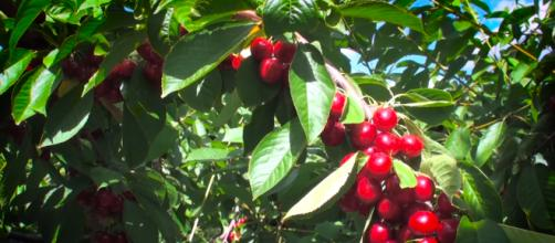 Cherries, though delicious and healthy, can be very toxic. [Image Source: AgricultureCanadaEng/YouTube]