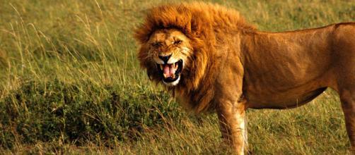 Repubblica Ceca, uomo sbranato dal leone che teneva in gabbia nel giardino: vittima un 33enne