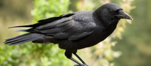 Seattle: uomo si prende cura di una famiglia di corvi che ricambiaano con particolari doni