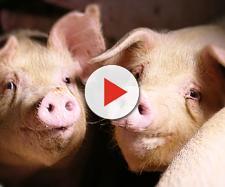 Cervelli di maiali riattivati dopo la morte
