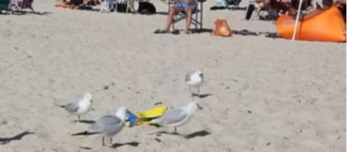 Beach restaurants warn of extra-hungry seagulls who will swarm kids trying to feed them. [Image source/ABC Action News YouTube video]
