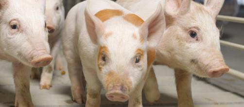 Los resultados fueron descritos en cerdos, modelo animal ampliamente utilizado en investigación