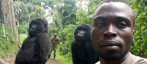 Gorilas posam para selfie com seus protetores, guardas florestais. (Arquivo Blasting News)