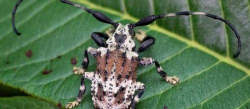 Besouro-escorpião é encontrado no Brasil. (Foto: Antonio Sforcin Amaral/ Divulgação/ Unesp)