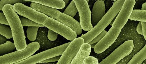 Candida auris resiste agli anticorpi