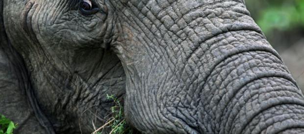 Bracconiere ucciso da elefante e sbranato dai leoni | Virgilio Notizie - virgilio.it