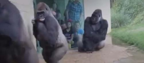 Sometimes we can totally relate to our close cousins, the gorillas. [Image euronews (in English)/YouTube]