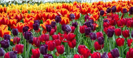 Olanda in primavera: curiosità.