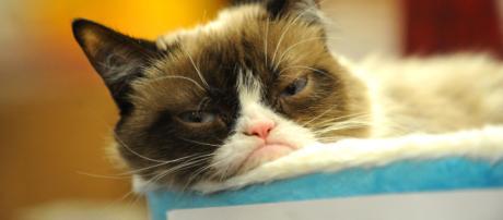 Usa, è morto Grumpy Cat: il gatto 'musone' più famoso e ricco dei social network