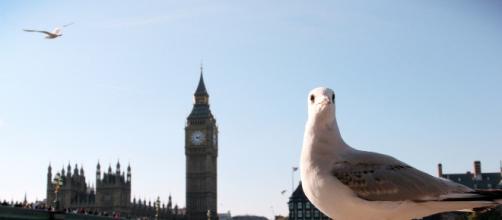 Unas gaviotas protagonistas del tráfico de Londres