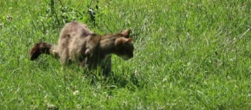 The British wildcat. [Image source/Nick lays east tilbury wildlife watch YouTube video]