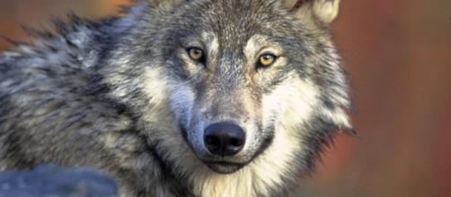 Rinvenuta testa di lupo gigante in Siberia