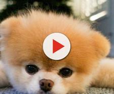 Boo, le chien le plus mignon d'Internet, est mort - Pop culture ... - numerama.com