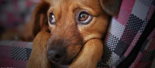 Scientists reckon that dogs evolved those puppy dog eyes to charm us humans.[Image credit - COO Pixabay]