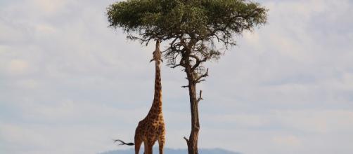 La giraffa è a rischio estinzione.