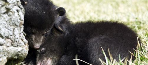 Matan a una cría de oso por estar acostumbrada a los humanos