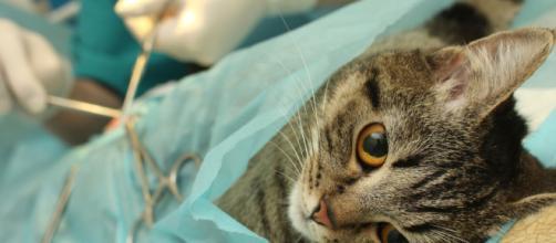 Stérilisation d'un chat : Faire stériliser mon chat : pourquoi et ... - doctissimo.fr
