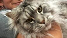 5 raças de gatos gigantes raras no mundo