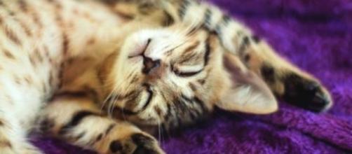 Le chaton bengal certainement le plus mignon du monde
