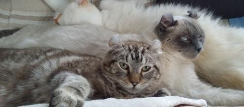Highland lynx une race de chat méconnue