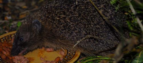 A pet hedgehog eating its favorite diet outside a cage. [Image Source: Boogie-Bailon/Flickr]
