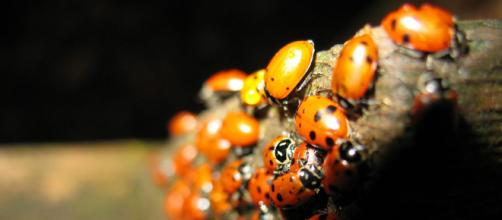 Ladybugs in Mill Valley, California. [Image source/ Kristopher Anderson, Wikimedia Commons]