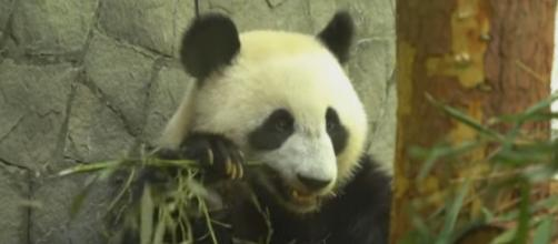 Russians eager to meet giant pandas from China. [Image source/New China TV YouTube video]