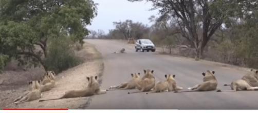 Largest Lion pride ever, blocking road in Kruger Park. [Image source/Sky Animals YouTube video]