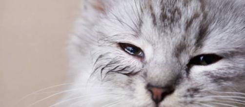 Les maladies des yeux des chats - photo publiée par galaxyofanimal.com