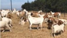 California: Goats help protect homes from devastating wildfires from climate change
