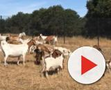 A view of fire goats grazing. [Image source/Oakland Zoo YouTube video]