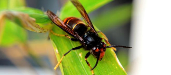 Frelon asiatique : un réel danger existe pour l'avenir des abeilles
