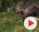 La fuga dell'orso M49 e l'ordinanza di abbattimento