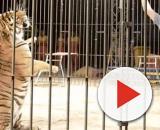 Ettore Weber, la moglie chiede di non sopprimere la tigre che ha attaccato il domatore