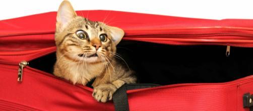 Mon chat est stressé par les voyages - Mon chat a peur des voyages ... - doctissimo.fr