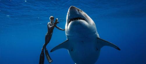 VIDÉO - Hawaï : ils nagent avec un requin blanc de six mètres de long - rtl.fr
