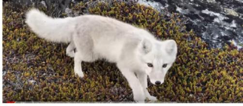 Encounter a young wild white Arctic Fox in Greenland. [Image source/Stefan Forster YouTube video]