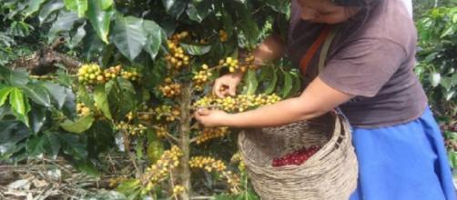 Sector cafetalero centroamericano demanda mejoras. - andina.pe