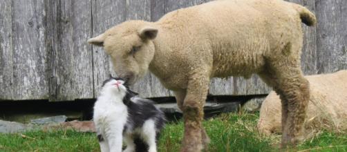 Un mouton et un chat se font des câlins - koreus.com