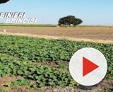Brindisi, scarcerato l'imprenditore agricolo di Tuturano: era accusato di sfruttamento del lavoro