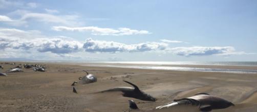 50 ballenas muertas en una playa de Islandia