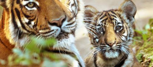 Il 29 luglio, Giornata Mondiale della tigre
