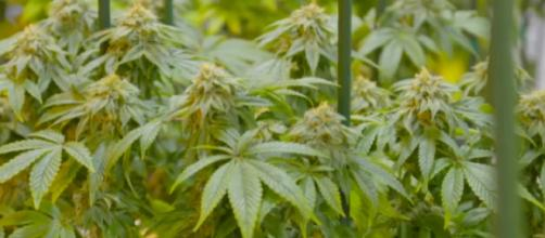 NY governor signs bill decriminalizing marijuana [Image source/Newsy YouTube video]