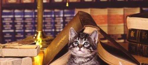 Fond d'écran : chat, livre, mensonge, visage, bibliothèque ... - wallhere.com