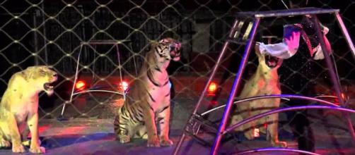 Triggiano, domatore del circo Orfei ucciso durante le prove dalle tigri | ecodellalocride.it