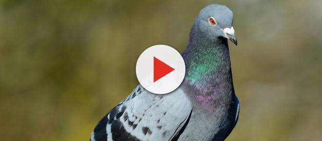 Criptococose: doença transmitida por pombos já matou duas pessoas em São Paulo