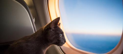 Chats: les races qui ne peuvent pas prendre l'avion - ohmymag.com