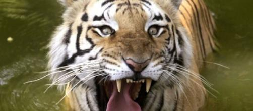 Tiger Comeback Brewing in India, Census Numbers Show increase- photo -(image source-Fox News/youtube)